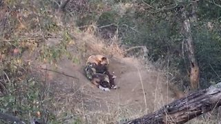 Wild dog plucks hungry pups from hole, signaling feeding time