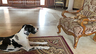 Great Dane tries to convince cat to play