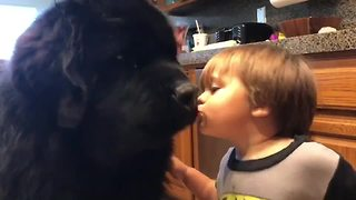 Toddler kisses Newfoundland, gets knocked over for it! - Video