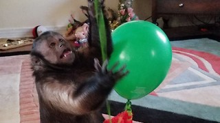 Monkey With Fingernail Clippers - Video