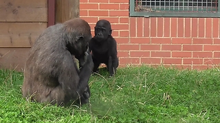 Older Sibling Tries To Harass Baby Gorilla, Gets A Taste Of His Own Medicine - Video