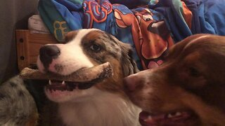 Puppy Teases Her Friend With Tasty Bone