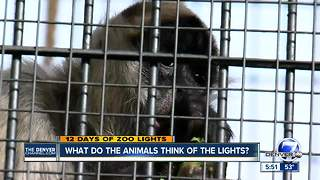 What do the animals think of Zoo Lights? - Video