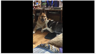 Husky desperately attempts to play with German Shepherd - Video