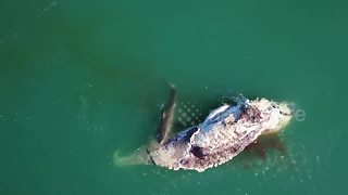 Huge sharks feast on whale carcass - Video