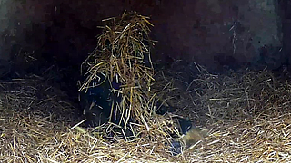 Gorilla youngster with attitude plays in the hay