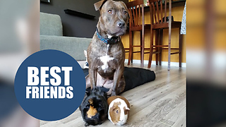 Pitbull rescued from the streets spends her nights cuddling her new guinea pig siblings