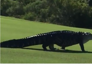 Monster Gator Spotted at Florida Air Force Base