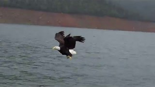 Bald Eagle Swoops Down to Catch Fish - Video