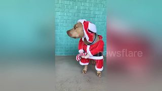 This dog does not like its Christmas outfit