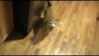 Dogs chase laser dot, cat submissively watches - Video