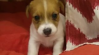 Jack Russell Puppy Has Adorable Bedtime Routine