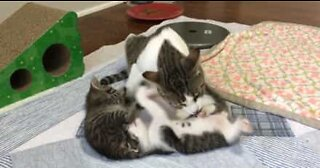 Mommy cat cleans little kittens