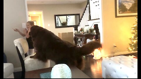 Newfoundland and little girl spar over tasty treat