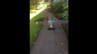 German Shepherd instinctively herds toddler on bike