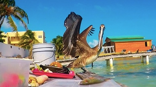 Hungry pelican tries to steal fisherman's catch