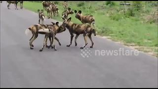 Huge wild dog pack caught on camera - Video