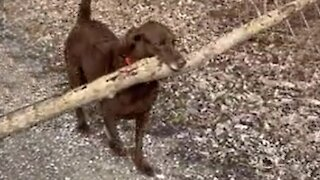 Pup shows off strength by carrying massive tree branch