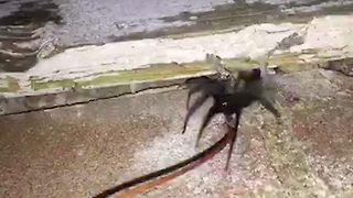 Pest Controller Finds His Home Infested With Spiders Sporting 'Glowing Green' Fangs - Video
