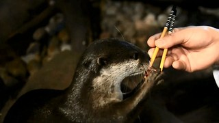 The Otters That Love Sushi - Video