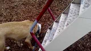 Dog Uses Slide and Makes Every Human Watching Jealous - Video