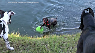 Funny Great Danes and Pointer Dog Playing and Swimming with Jolly Ball  - Video