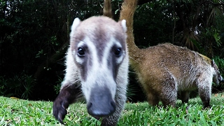 Curious Coatimundi snatches GoPro - Video