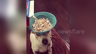 Dog balances cereal bowl on head while owner pours milk - Video