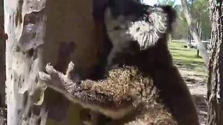 Young Koala Rescued During Storm is Released Back Into the Wild - Video