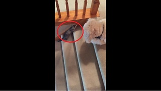 Goldendoodle learns to get along with pet ferret