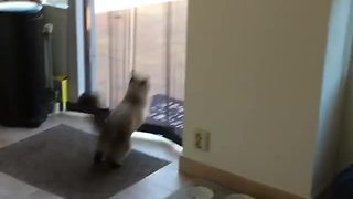 Cat hilariously leaps through screen every single time - Video