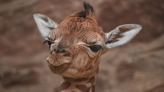 Giraffe Calf Falls 6 Feet During Birth: ZooBorns - Video