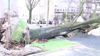 Powerful winds down huge tree in the Netherlands - Video