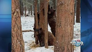 Bearizona critters enjoy first snow fall - Video