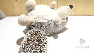 Hedgehog plays with a plush hedgehog - Video