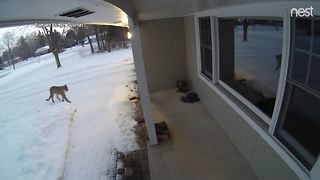 Brookfield neighbors stirring after cougar sighting - Video