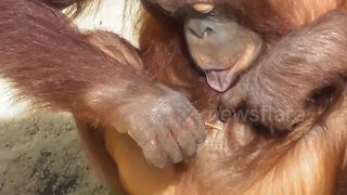 Orangutan youngster uses straw stalk to clean ears and belly button - Video