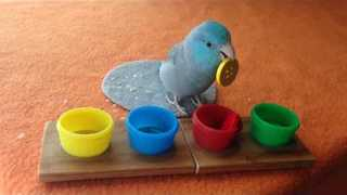 Charlie the Parrotlet Sorts Colored Buttons - Video