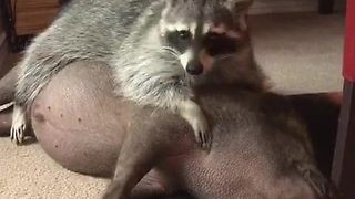 Raccoon Loves Cuddling Up To His Piggy Best Friend - Video