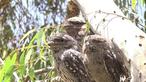 Rare sight of male Tawny Frogmouth Owl huddling with two females
