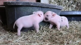 Cute little piglets run and play with each other for the camera