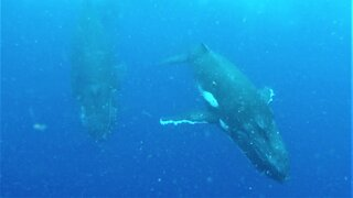 Humpback whales give swimmers an unforgettable experience