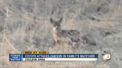 Coyote attacks chicken in family's backyard