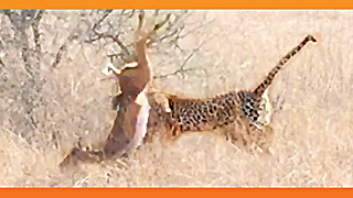 Leopard Surprises Impala With a Quick Kill! - Video