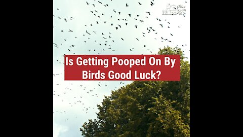 Is Getting Pooped On By Birds Good Luck?