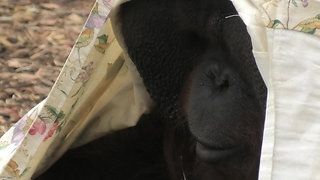 Orangutan youngster Is getting ready for Halloween - Video
