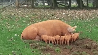 Mother Pig Gets Fed Up With Feeding Piglet, Launches it Into the Air - Video