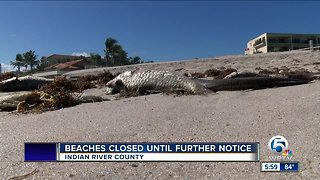 High levels of red tide detected in Indian River County beaches - Video