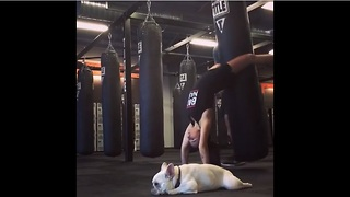 French Bulldog at gym unimpressed by workout routine - Video