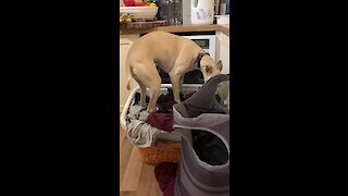 Weirdo Dog Really Wants To Lay In Pile Of Dirty Laundry